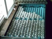 Хорошо попугаев и оплодотворенные яйца на продажу